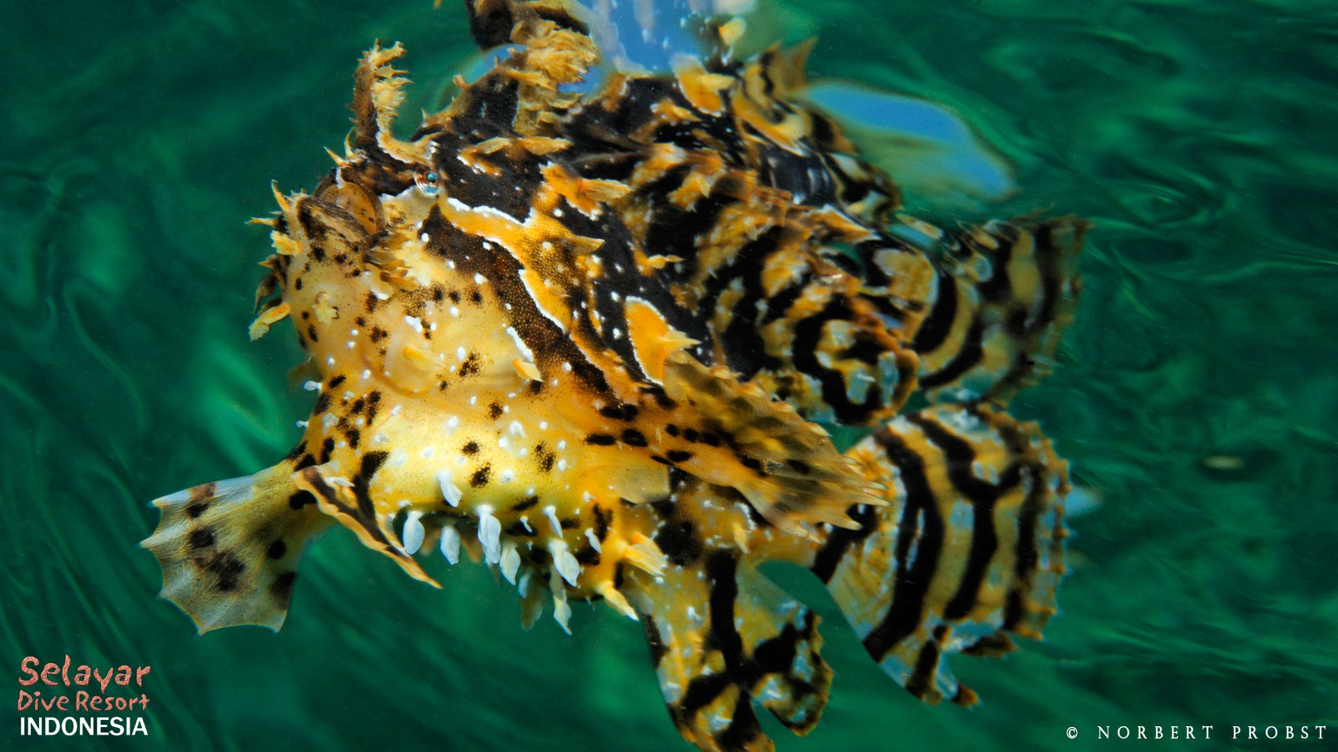 Hausriff: Sargasso Anglerfisch (Frog-Fish)